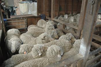 sheep waiting to be sheared