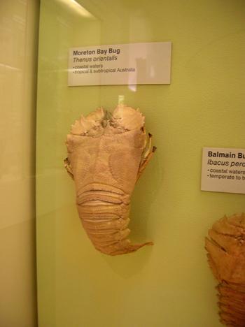 Morton Bay Bug